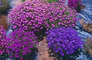 Выращивание однолетних и многолетних цветов 3580