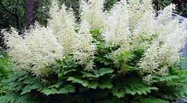 Метелки цветы название и фото