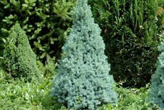 68oych- сизая Сандерс Блю (Picea glauca Sander's Blue)