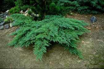 Можжевельник Juniperus sabina Rockery Gem С2-3.86