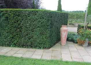 Yew Hedge