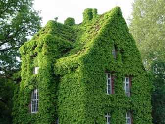 Выбираем растения для озеленения стен дома