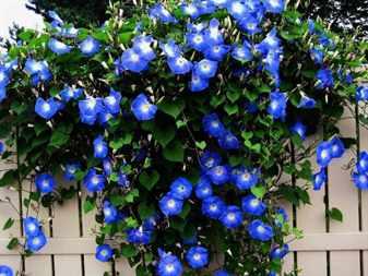 Выбираем вьющиеся растения и цветы для сада