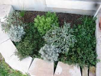 Клумбы из пряных растений