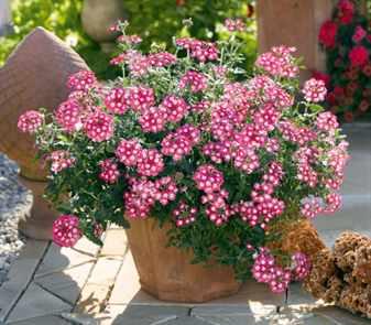 Ампельные цветы