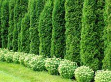 Секреты создания хвойной живой изгороди