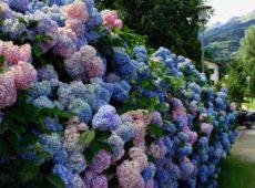 Можно ли сделать живой забор из цветов?