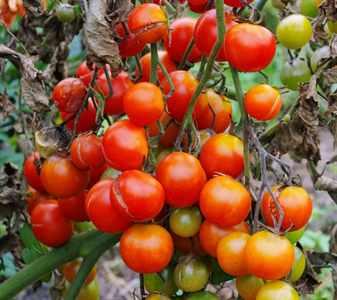 Вредители помидоров