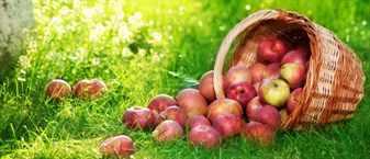 Яблоки собранные в корзину