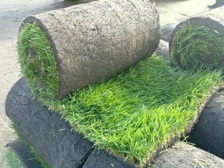 Виды газонной травы с описаниями и фото