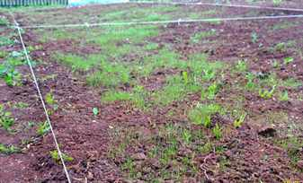 всходы газонной травы