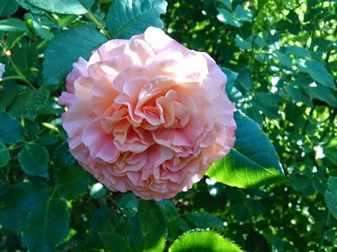 Пушистый розовый цветок