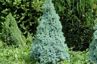 68oych- сизая Сандерс Блю (Picea glauca Sander's Blue)