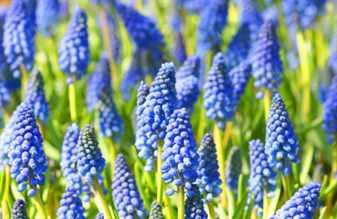 Цветы семейства луковичных фото с названиями