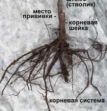 kornevaya-sistema-sazhenca
