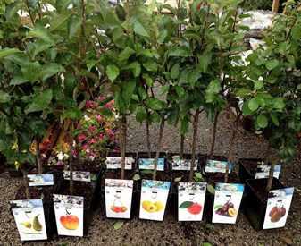 sazhenci-plodovih-derevev