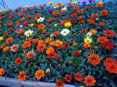 Каталог однолетних садовых цветов