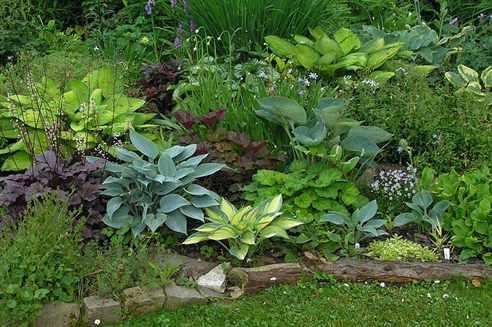 Хоста в садовом дизайне