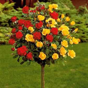 Штамбовые розы в ландшафтном дизайне