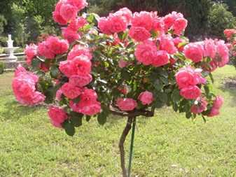 Посадка-штамбовых-роз