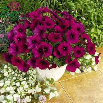 Петуния ампельная как украшение сада