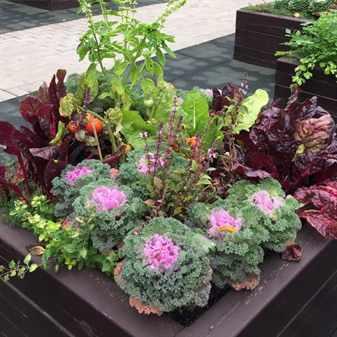 Декоративная капуста в саду