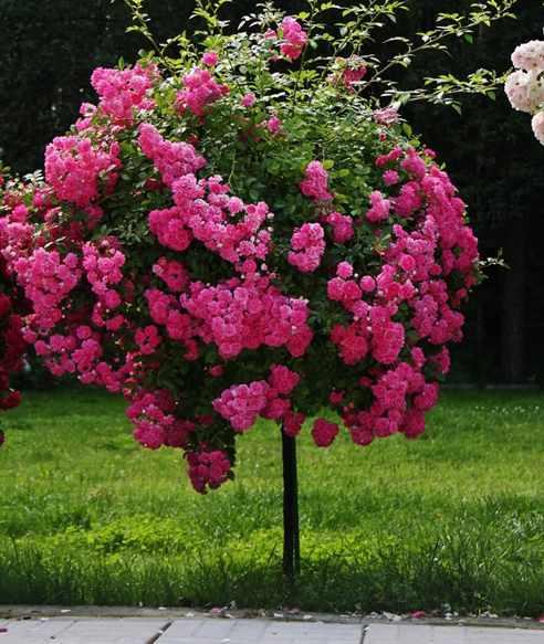 Штамбовые розы своими руками фото 999