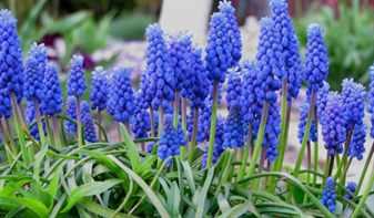 Голубые цветники из мускари