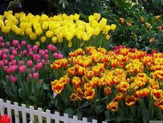 Цветник из тюльпанов