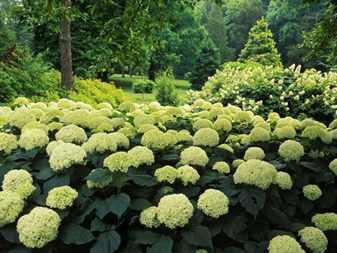 Сад гортензий