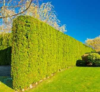 Живой зеленый забор