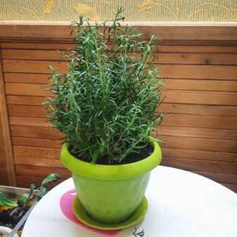 Пряные растения в вазонах: