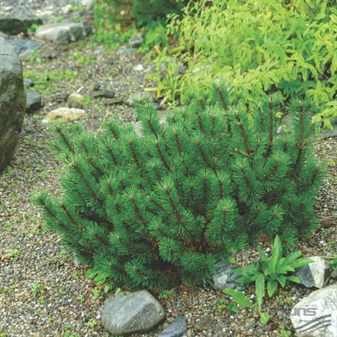Pinus_mugo_Humpy_2010_5215