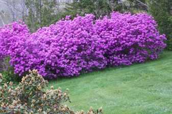 ZHivaya-izgorod-iz-rododendrona