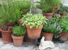 Пряные растения в вазонах: маленькие хитрости для сада