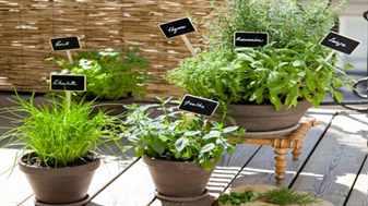 Пряные растения в вазонах